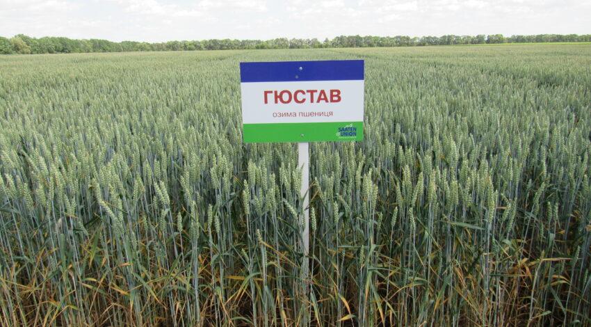 Озима м'яка пшениця ГЮСТАВ 2