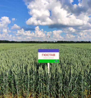 Озима м'яка пшениця ГЮСТАВ