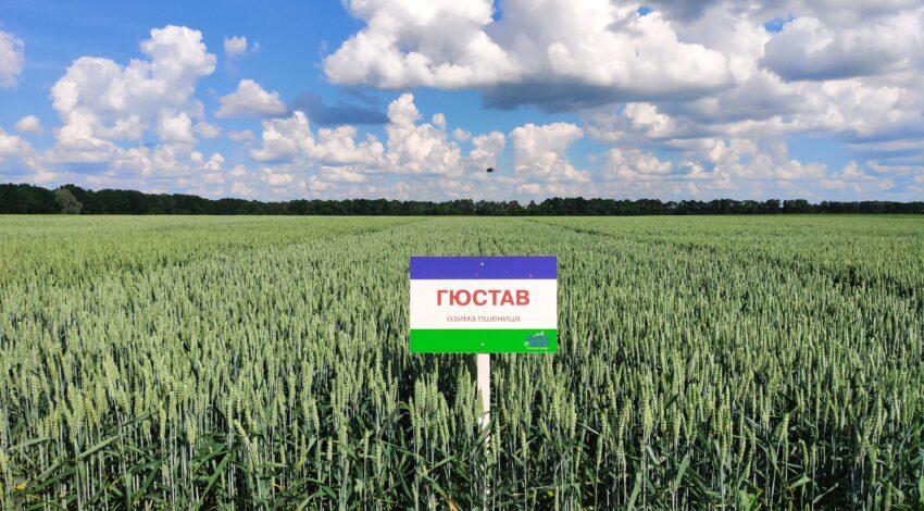 Озима м'яка пшениця ГЮСТАВ 3