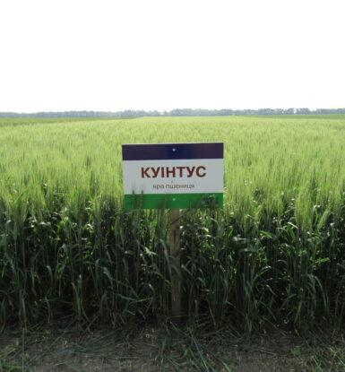 Яра пшениця КУІНТУС