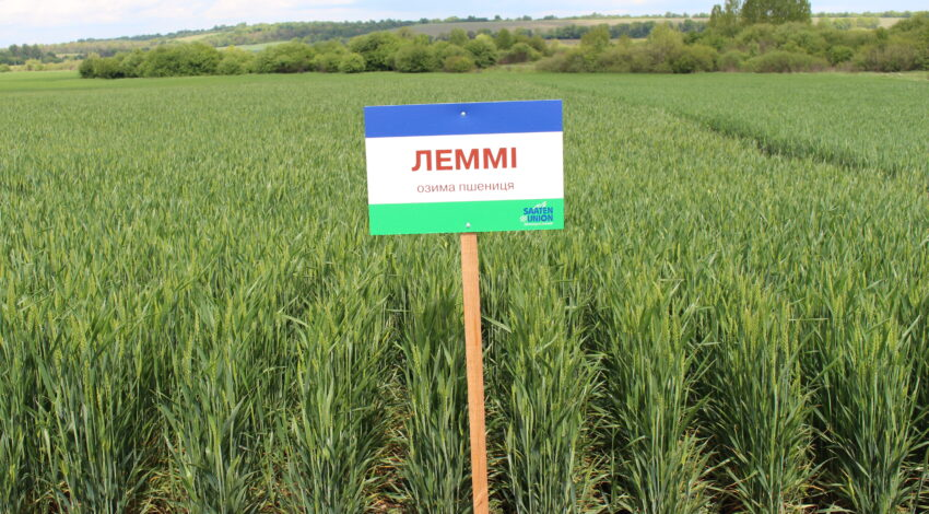 Озима м'яка пшениця ЛЕММІ 2