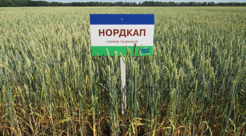 Озима м'яка пшениця НОРДКАП 2
