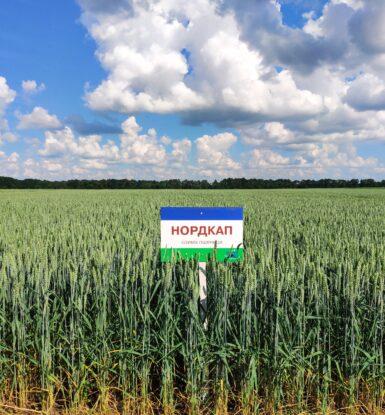 Озима м'яка пшениця НОРДКАП