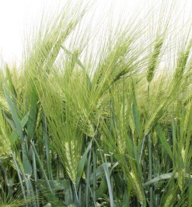 Озима гібридна пшениця ХЮГАРДО