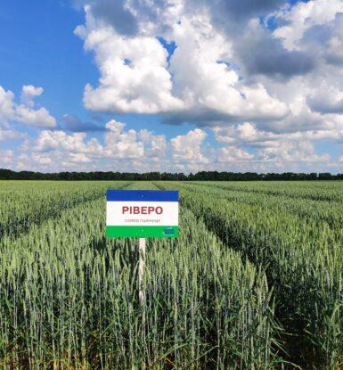 Озима м'яка пшениця РІВЕРО