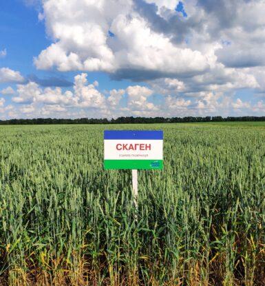 Озима м'яка пшениця СКАГЕН