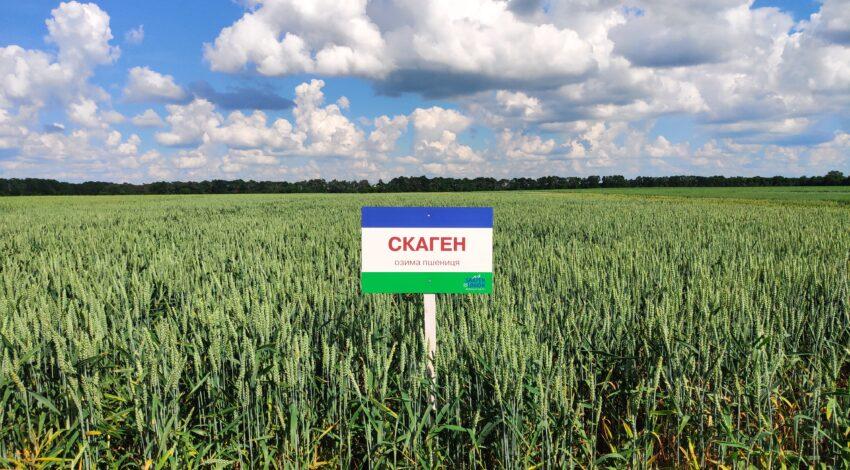 Озима м'яка пшениця СКАГЕН 2