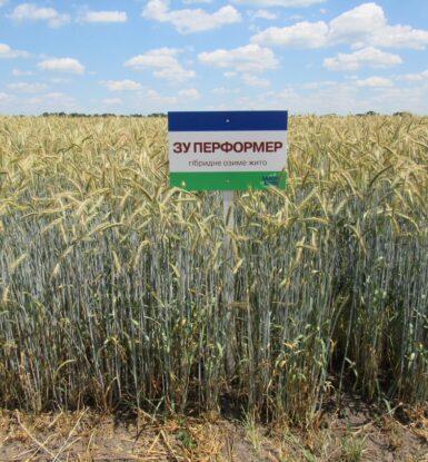 Озиме гібридне жито ЗУ ПЕРФОРМЕР