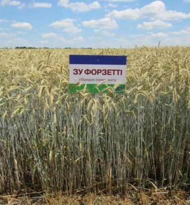 Озиме гібридне жито ЗУ ФОРЗЕТТІ