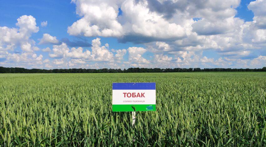 Озима м'яка пшениця ТОБАК 2