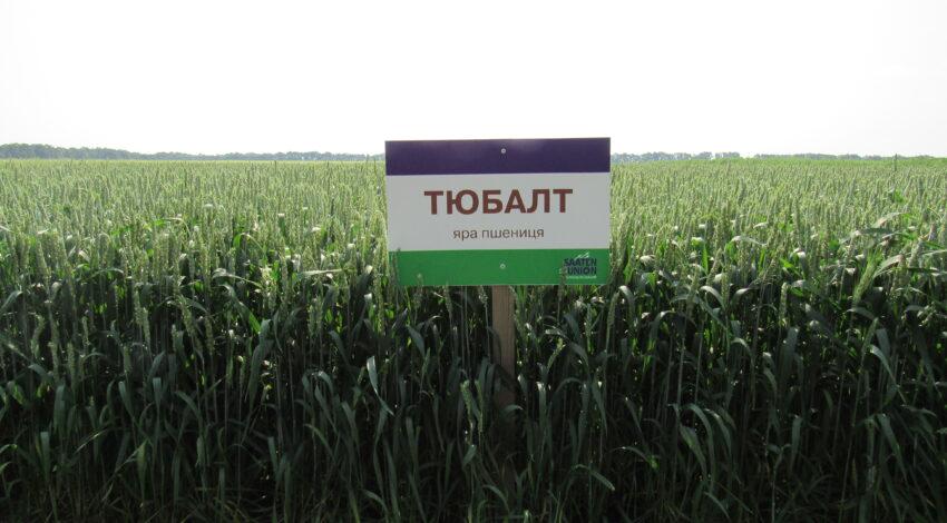 Яра пшениця ТЮБАЛЬТ 2