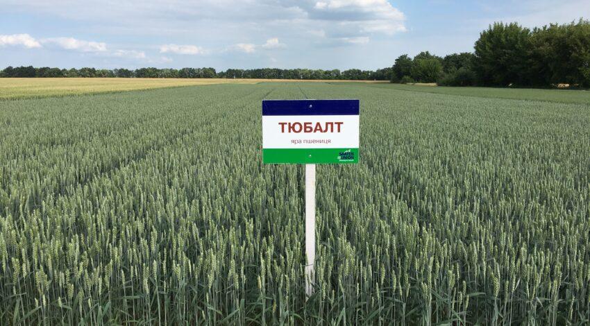 Яра пшениця ТЮБАЛЬТ 3