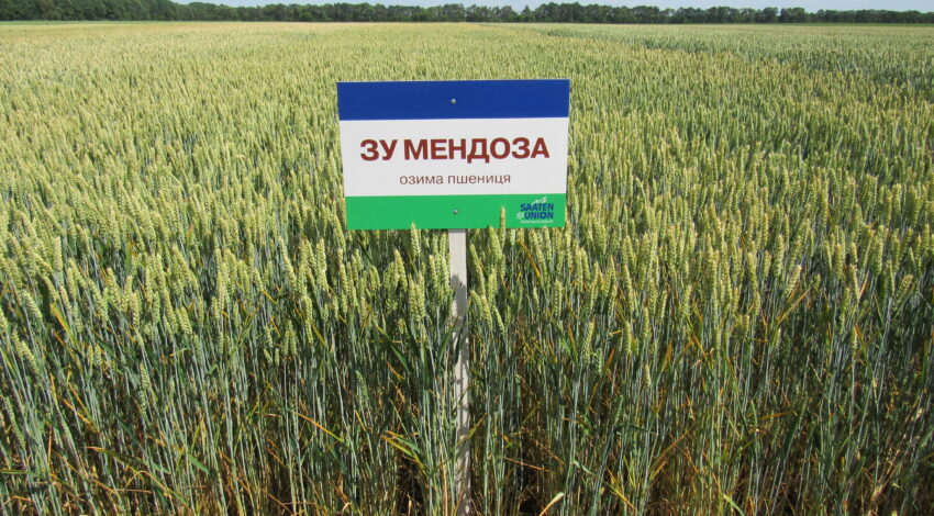 Озима м'яка пшениця ЗУ МЕНДОЗА 3