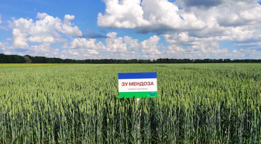 Озима м'яка пшениця ЗУ МЕНДОЗА 2